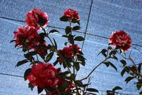 花棚里的山茶花