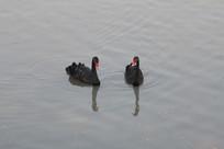 湖面的一对黑天鹅