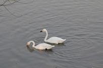 湖面一对白天鹅