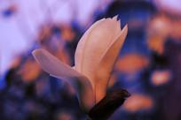 开放的玉兰花