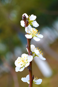 美丽的白色桃花