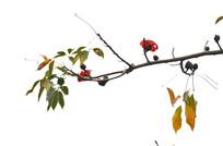 木棉花树枝