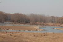 湿地公园的大雁群