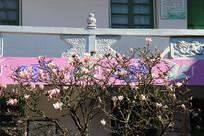 寺庙里的粉玉兰