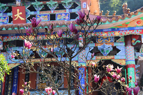云南玉溪新平龙泉公园大雄宝殿门口的紫玉兰
