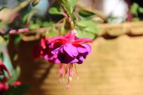 紫红的倒吊金钟花