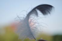 黑天鹅羽毛