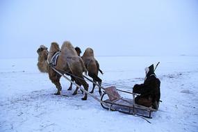 牧民乘坐骆驼爬犁