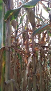 秋季成熟的玉米图片