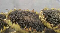秋天成熟的向日葵果实图片
