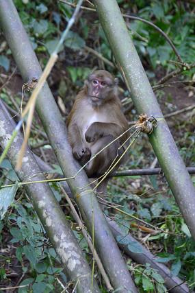 热带雨林里的雄性猕猴