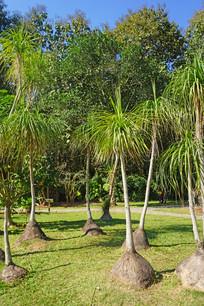 庭院美化植物象腿树
