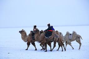 雪色草原骑骆驼的牧民