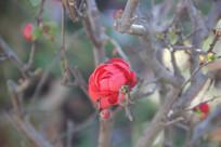 背景虚化的红春梅