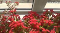 窗前的红色长寿花图片