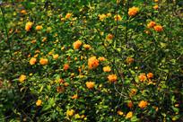 春天小金盏花丛