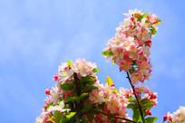 粉色的海棠花