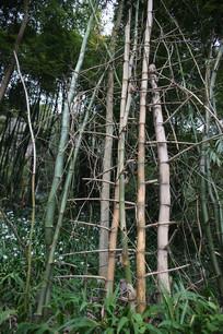 干枯的兰竹林