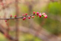 红花俏枝头