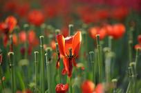 红色郁金香花瓣