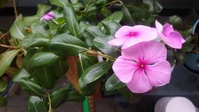 几朵粉色四季春花图片