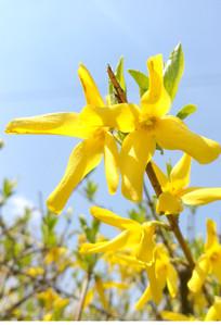 积极向上的迎春花