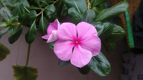 近镜头粉色四季春花图片
