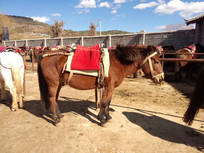 拉市海景区马厩中的大马