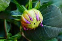 绿色的花苞