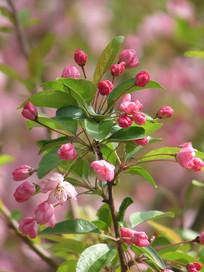 美丽的垂丝海棠花朵
