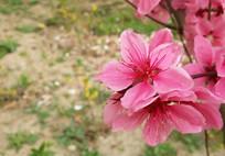 美丽的桃花