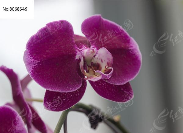 美丽的紫色蝴蝶兰图片