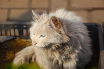 凝神中的波斯猫