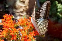 漂亮蝴蝶微距摄影