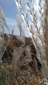 山芦苇草近距离图片