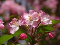 盛开的垂丝海棠花朵