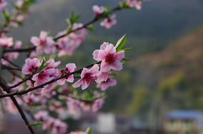 树枝上的粉色桃花高清图片