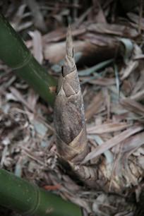 死掉的竹笋