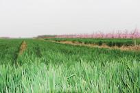 田地绿草绿植高清图片