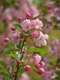 鲜艳的垂丝海棠花朵