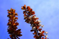 欣欣向荣的杏花