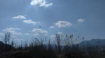 阳光下的山芦苇草图片