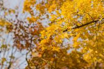 野外的金黄银杏树叶