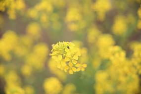 油菜花上的昆虫