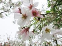 白色的樱花