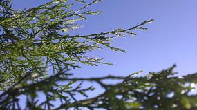 柏树枝图片