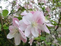 春天浪漫樱花