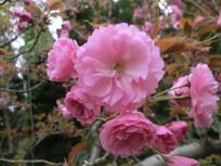 春天盛开的樱花