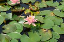粉红色的睡莲