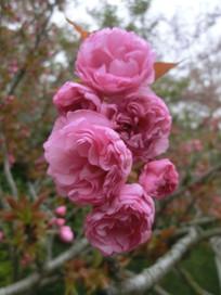 粉红色的樱花花枝